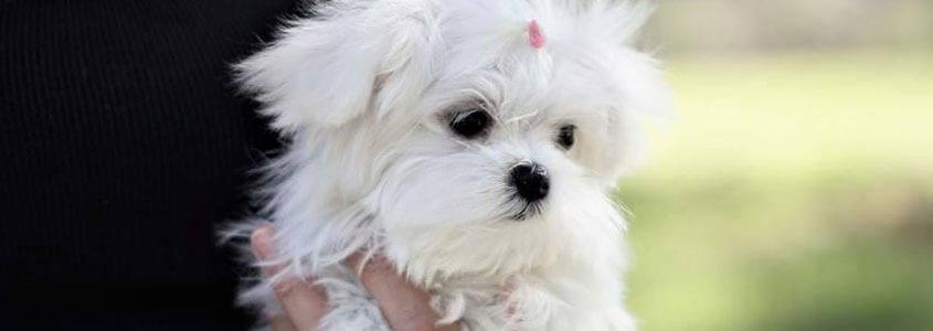 Malta Köpeği